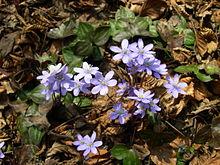220px-Hepatica_nobilis_plant
