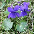 220px-Viola_odorata_Garden_060402Aw